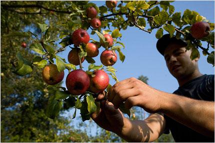 David Montes Foncueva bajo los manzanos de Sariego.  © Miki López