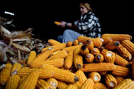 Maíz. Orbón, Castrillón.  © Miki López