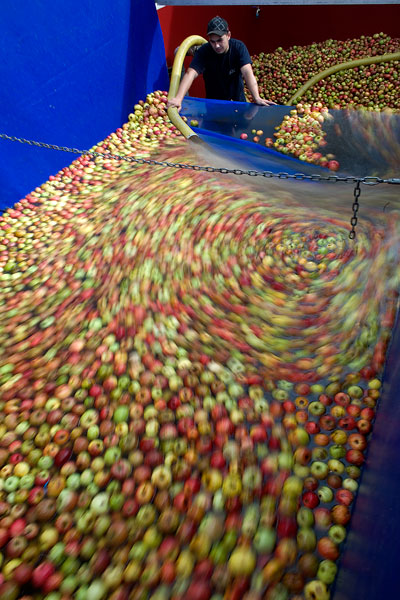 Descarga de manzana para mayar. Llagar de Foncueva, Sariego. 19 de octubre de 2009.  © Miki López