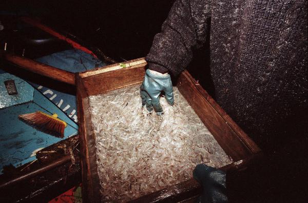 Dos kilos de angula fresca recién pescada. Soto del Barco, noviembre de 1995. ©Miki López